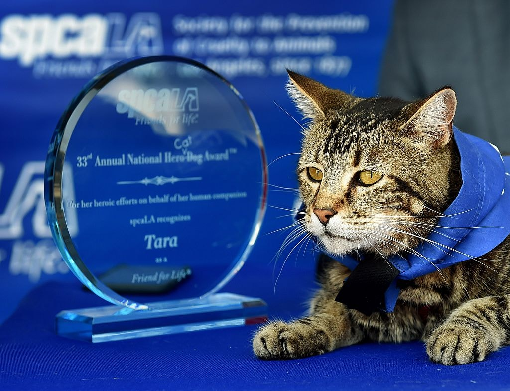 Tara a 7-year-old female cat looks out at the media after being presented with the 33rd Annual National Hero Dog Award by the Society for the Prevention of Cruelty to Animals-Los Angeles (SPCALA) on June 19, 2015. In May, 2014, Tara became a YouTube sensation with the video 'My Cat Saved My Son' after she fought off a neighbors dog that attacked her owners son Jeremy in the driveway of their Bakersfield, California home. The SPCALA broke with tradition by presenting the award to a cat. AFP PHOTO / MARK RALSTON